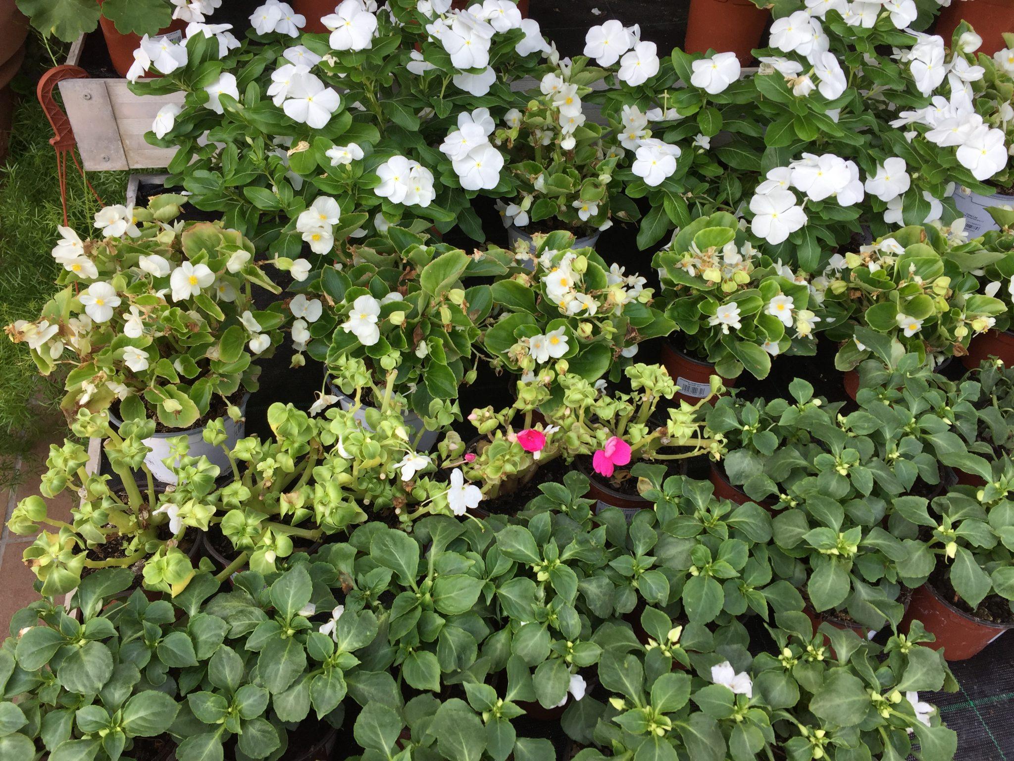 Planta fresca de temporada conillas for Plantas temporada