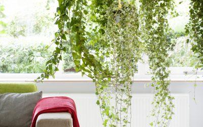 Plantes penjants, verds d'alçada